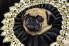 Perogi, Queen of Pugs